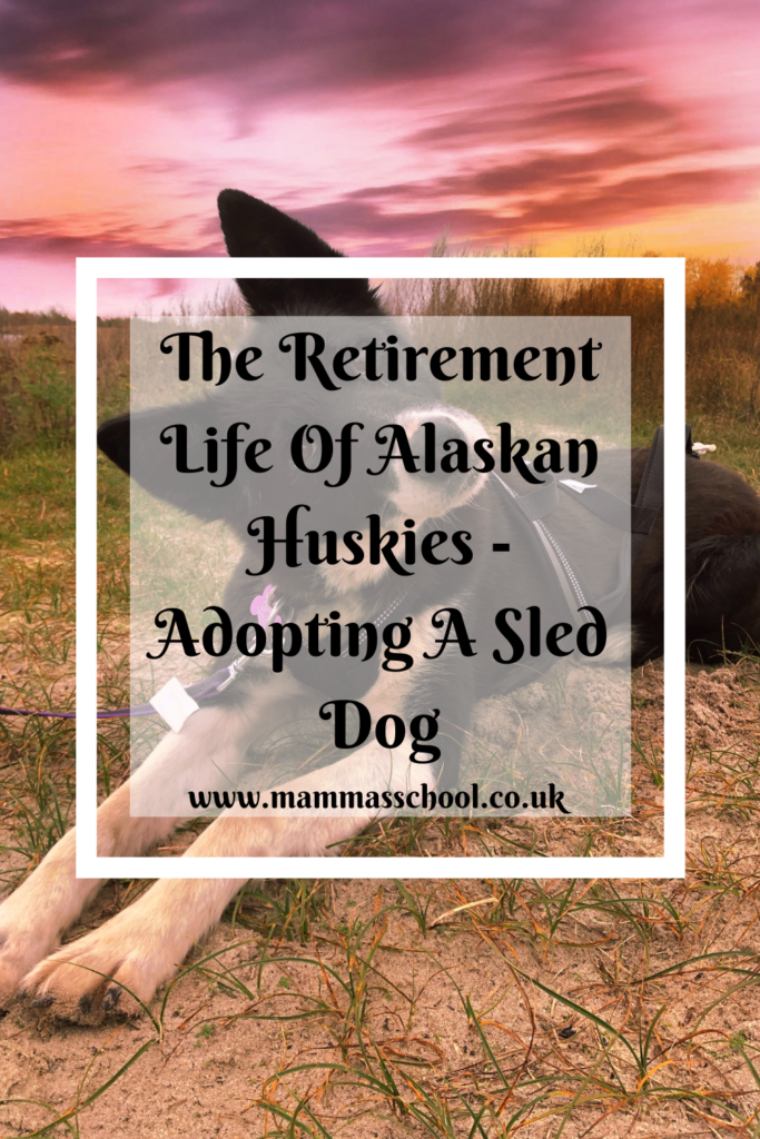Alaskan Huskies, alaskan husky, adopting a dog, sled dogs, sled dog, working dogs, retired sled dogs, arctic, dogs, huskies, pets, www.mammasschool.co.uk